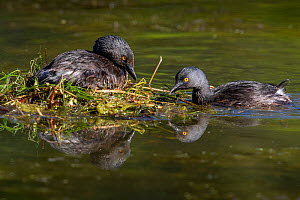 Least grebe (Tachybaptus dominicus) pair, one sitting on nest while other builds nest. Texas, USA. April. - Karine Aigner