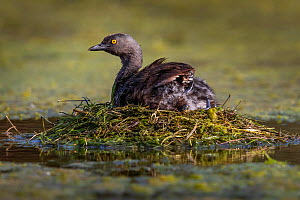 Least grebe (Tachybaptus dominicus) sitting on nest, chick sheltering under wing. Texas, USA. July. - Karine Aigner