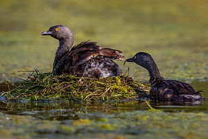 Least grebe (Tachybaptus dominicus) sitting on nest whilst other parent feeds chick. Texas, USA. July. - Karine Aigner