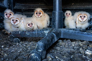 Barn owl (Tyto alba), six owlets of varying ages sitting in nest at bottom of abandoned hunting blind. Texas, USA. April. - Karine Aigner