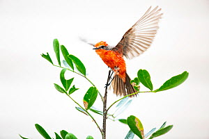Vermilion flycatcher (Pyrocephalus rubinus) on tree, white background. Texas, USA. March. - Karine Aigner