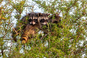 North American raccoon (Procyon lotor), three cubs peering out of tree. Texas, USA. July. - Karine Aigner