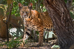 North American bobcat (Lynx rufus) female behind tree trunk. Texas, USA. July.  -  Karine Aigner