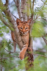 North American bobcat (Lynx rufus) kitten resting in tree fork. Texas, USA. June.  -  Karine Aigner