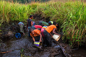 Women of Mpelu village practicinge agroforestry.  Here they build makeshift dams out of mud, then sequester the fish, bucket out the water through nets and catch the fish. Democratic Republic of the C...  -  Karine Aigner