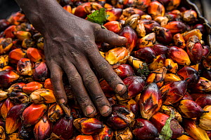 Woman with palm oil kernels (Elaeis guineensis) for local palm oil production. . Oshwe, Democratic Republic of Congo. May 2017.  -  Karine Aigner