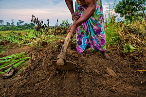 Woman from Sala Ozwa, a women's association, helps cultivating a shared field in the village of Mbanzi. Democratic Republic of Congo. May 2017.  -  Karine Aigner