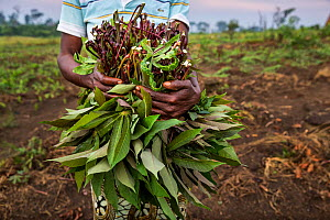 Woman holding Cassava (Manihot esculenta) stems and leaves which are removed before harvesting the roots. Democratic Republic of Congo. May 2017.  -  Karine Aigner