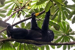 Bonobo (Pan paniscus) in tree, Democratic Republic of Congo. Part of a family group monitored by Projet PICBOU, community-led ecotourism and bonobo conservation in the Mai Ndombe region of DRC.  -  Karine Aigner
