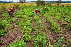 Women cultivating Cassava (Manihot esculenta) plants. Democratic Republic of Congo. May 2017.  -  Karine Aigner