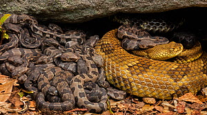 Timber rattlesnake (Crotalus horridus) females and newborn young at maternity site. Pennsylvania, USA. August.  -  John Cancalosi