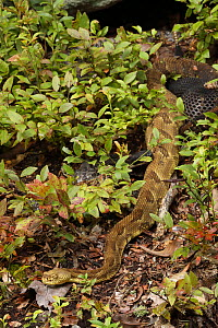 Timber rattlesnake (Crotalus horridus) females in undergrowth at maternity site, Pennsylvania, USA. August. - John Cancalosi
