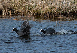 Common Coots (Fulica atra) fighting over territory, one driving another away. Potterick Carr Nature Reserve, Doncaster, Yorkshire, UK, March.  -  Roger Powell