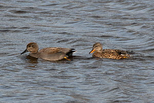 Gadwall pair (Mareca strepera) swimming in tandem. Potterick Carr Nature Reserve, Doncaster, Yorkshire, England, UK, March.  -  Roger Powell