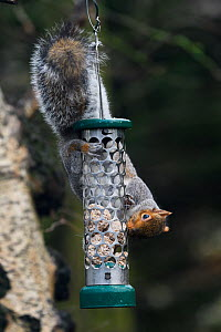 Grey squirrel (Sciurus aureogaster) trying to steal peanuts from a garden bird feeder. Bessacarr, Doncaster, Yorkshire, England, UK, December.  -  Roger Powell