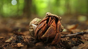 Tawny hermit crab (Coenobita rugosus) emerging from its shell, Christmas Island, Indian Ocean, Australian Territory.  -  Fred  Olivier