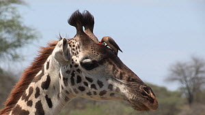 Yellow billed oxpecker (Buphagus africanus) removing parasites from a Giraffe (Giraffa camelopardalis), giraffe shakes and oxpecker takes off, Serengeti National Park, Tanzania.  -  Fred  Olivier