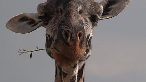 Close-up of a Giraffe (Giraffa camelopardalis) chewing, Serengeti National Park, Tanzania.  -  Fred  Olivier
