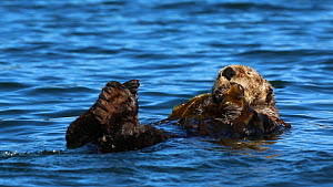Northern sea otter (Enhydra lutris kenyoni) grooming, anchored in kelp, Kachemak Bay, Alaska, USA.  -  Fred  Olivier