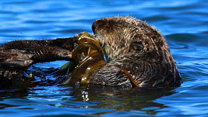 Northern sea otter (Enhydra lutris kenyoni) cleaning its paws, anchored in kelp, Kachemak Bay, Alaska, USA.  -  Fred  Olivier