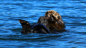Northern sea otter (Enhydra lutris kenyoni) grooming whilst anchored in kelp, Kachemak Bay, Alaska, USA. - Fred  Olivier