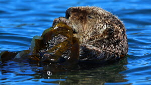 Close-up of a Northern sea otter (Enhydra lutris kenyoni) grooming, anchored in kelp, Kachemak Bay, Alaska, USA.  -  Fred  Olivier