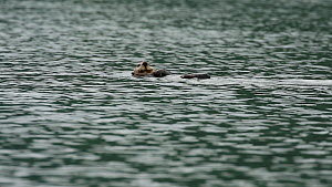 Male Northern sea otter (Enhydra lutris kenyoni) trying to separate female from pup, Kachemak Bay, Alaska, USA.  -  Fred  Olivier