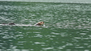 Male Northern sea otter (Enhydra lutris kenyoni) swimming, with female and pup in the background, Kachemak Bay, Alaska, USA.  -  Fred  Olivier