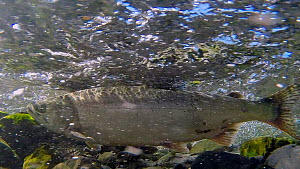 Coho salmon (Oncorhynchus kisutch) in strong current, Prince William Sound, Alaska, USA.  -  Fred  Olivier