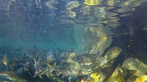 Pink salmon (Salmonidae) in river, towards end of the spawning season, Prince William Sound, Alaska, USA.  -  Fred  Olivier