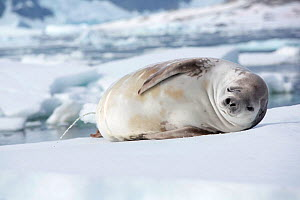 Crabeater seal (Lobodon carcinophaga) urinating on ice with one eye shut. Antarctica. February 2019.  -  Ashley Cooper