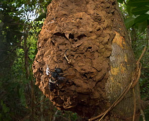 Wallace's giant bee (Megachile pluto) and nest on tree trunk. North Moluccas, Indonesia.T his is the only photo that is known to exist of this species (the world's largest bee) in the wild, in situ, a... - Clay Bolt