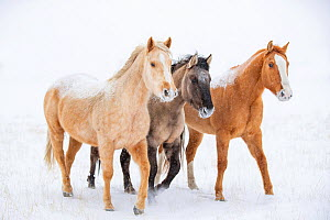 American quarter horse, three standing in snow. Alberta, Canada. February.  -  Carol Walker