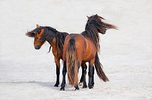 Sable Island horse, two stallions standing on beach, on windy day. Sable Island, Nova Scotia, Canada. August.  -  Carol Walker