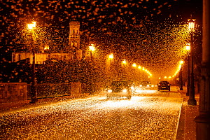 Pale burrower mayfly (Ephoron virgo), swarming in the millions on street at night, appearing like snow. Mayflies recently hatched. Tudela, La Ribera de Navarra, Navarre, Spain. August 2019. Finalist i...  -  Eduardo Blanco
