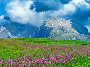 Ragged robin (Lychnis flos-cuculi) and Cottongrass (Eriophorum sp) in alpine meadow, Langkofel mountains in background. Seiser Alm Dolomites plateau, South Tyrol, Italy. July 2019.  -  Ernie Janes