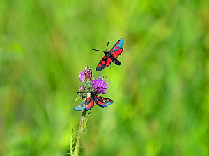 Five-spot burnet moth (Zygaena trifolii) two flying and nectaring on Thistle (Cirsium sp). Beeston Common, Norfolk, England, UK. July.  -  Ernie Janes