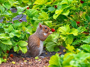 Grey squirrel (Sciurus carolinensis) feeding on Strawberries in garden. Norfolk, England, UK. June.  -  Ernie Janes