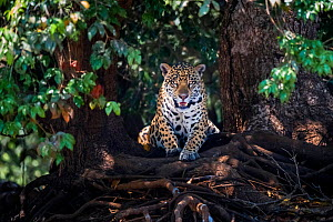 Jaguar (Panthera onca) lying on tree roots, portrait. Mato Grosso, Pantanal, Brazil. - Gabriel Rojo