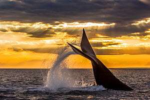 Southern right whale (Eubalaena australis) diving, with tail fluke splash. Monumento Natural Ballena Franca Austral, UNESCO World Heritage Site, Valdes Peninsula, Patagonia, Argentina.  -  Gabriel Rojo