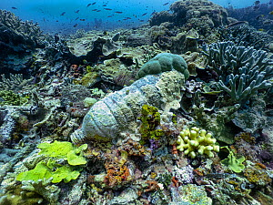 Plastic water bottle embedded in Coral reef. Ransiwor Island, Raja Ampast, Indonesia.  -  Michael Pitts