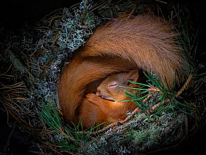 Red squirrel (Sciurus vulgaris), two curled up asleep in drey inside nest box. Nest of lichen and Pine needles. Highlands, Scotland, UK. Medium repro only.  -  Neil Anderson