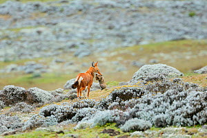 Ethiopian Wolf (Canis simensis) catching a big-headed African mole-rat (Tachyoryctes macrocephalus) in the Sanetti Plateau, Bale Mountains National Park, Oromia, Ethiopia.  -  Oriol  Alamany