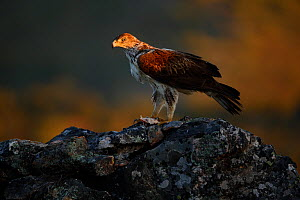 Bonelli's eagle (Aquila fasciata), male eating a prey in a rock, Tajo Internacional Natural Park, Extremadura, Spain  -  Oriol  Alamany
