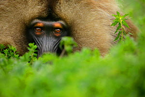 Gelada Baboon (Theropithecus gelada) male lying in a forest glade at around 3,000 metres of altitude, Simien Mountains National Park, Amhara, Ethiopia.  -  Oriol  Alamany