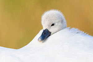 Mute swan (Cygnus olor) cygnet resting. Richmond Park, London, England, UK. April.  -  Oscar Dewhurst