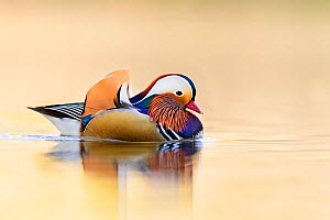 Mandarin duck (Aix galericulata) reflected in water. Richmond Park, London, England, UK.  -  Oscar Dewhurst