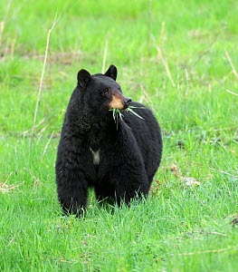 Black bear (Ursus americanus) feeding, grass in mouth. Yellowstone National Park, Wyoming, USA. May.  -  George  Sanker