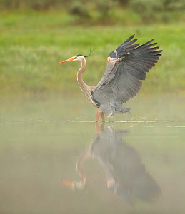 Great blue heron (Ardea herodias) landing in Yellowstone River in mist, wings stretched. Yellowstone National Park, Wyoming, USA. May. - George  Sanker