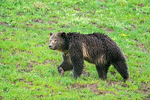 Grizzly bear (Ursus arctos horribilis) in grassland. Yellowstone National Park, Wyoming, USA. May.  -  George  Sanker